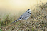 Bergeronnette grise - White Wagtail - Motacilla alba