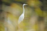 Grande Aigrette -Western Great Egret -Ardea alba