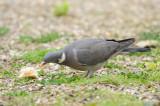 Pigeon Ramier - Common Wood Pigeon - Columba palumbus