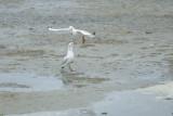 Mouette rieuse -Black-headed Gull - Chroicocephalus ridibundus