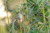 Moineau domestique -House Sparrow -Passer domesticus