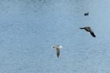 Mouette rieuse -Black-headed Gull - Chroicocephalus ridibundus & Vanneau huppé - Northern Lapwing - Vanellus vanellus