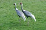 Grue à cou blanc - White-naped Crane - Grus vipio