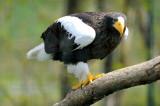 Pygargue de Steller -Steller's Sea Eagle - Haliaeetus pelagicus