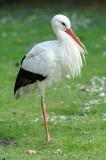 Cigogne blanche - White Stork - Ciconia ciconia