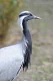 Grue demoiselle - Demoiselle crane - Grus virgo