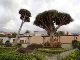 Dragon trees
