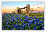 Bluebonnets-3521-Edit.jpg