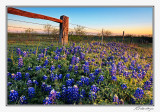 Bluebonnets-3527-Edit-Edit.jpg