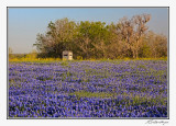 Bluebonnets-3544-Edit.jpg