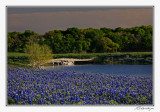 Bluebonnets-3551-Edit.jpg