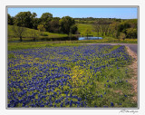 Bluebonnets-3592-Edit.jpg
