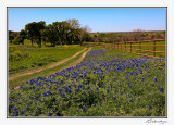 Bluebonnets-3596-Edit.jpg
