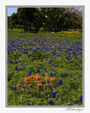 Bluebonnets-3601-Edit.jpg