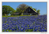 Bluebonnets-3564-Edit.jpg