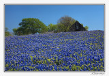 Bluebonnets-3566-Edit.jpg
