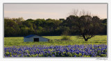 Bluebonnets-3550-Edit.jpg