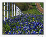 Bluebonnets-3558-Edit-Edit.jpg