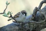 Tree Sparrow  / Passer montanus / Pilfink