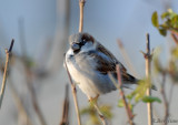 House Sparrow  / Passer domesticus / Gråsparv