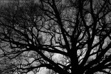 Common oak Quercus robur)