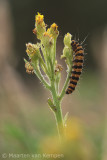 Burnet moth (Zygaena transalpina)