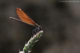 Beautiful demoiselle (Calopteryx virgo)