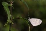 Wood white (Leptidea sinapis)