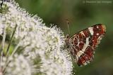 Map butterfly (Araschnia levana)