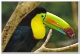 Tucan in Costa Rica
