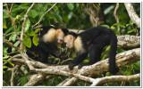Whitefaced Monkeys in Costa Rica