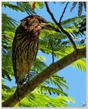 Night Heron in Kauai