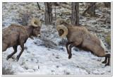 Bighorns in Yellowstone