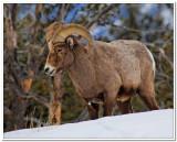 Bighorn in Yellowstone