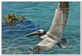 Pelican in St. Johns