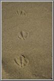 Tracks of a Gull