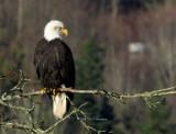 Adult American Bald Eagle