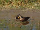P3120914_ducks_nopp_800.jpg