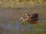 P3120915_ducks_nopp_800.jpg