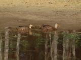 P3120916_ducks_nopp_800.jpg