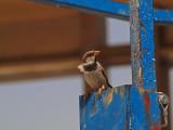 P4111062_sparrow_800.jpg