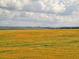 P4121130_yellowfield_800_jc.jpg