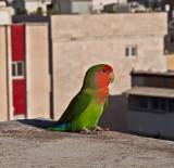 PA182860_parrotlet