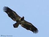 Bald Eagle 2nd year in flight 1a.jpg