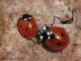 Coccinella septempunctata - Seven-spot Lady Beetle 8a.jpg