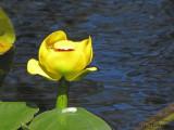 Yellow Pond Lily - Nuphar polysepala 1.jpg