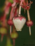 Salal - Gaultheria shallon 2 .JPG