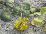 Yellow Sand-verbena - Abronia latifolia 1a.JPG