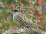 Golden-crowned Sparrow 7a.JPG