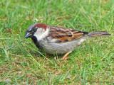 House Sparrow 6a.jpg